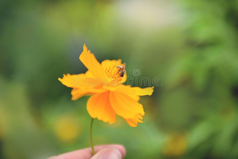 Yellow flower in hand with bee on pollen marigold flower in the nature green background royalty free stock photography