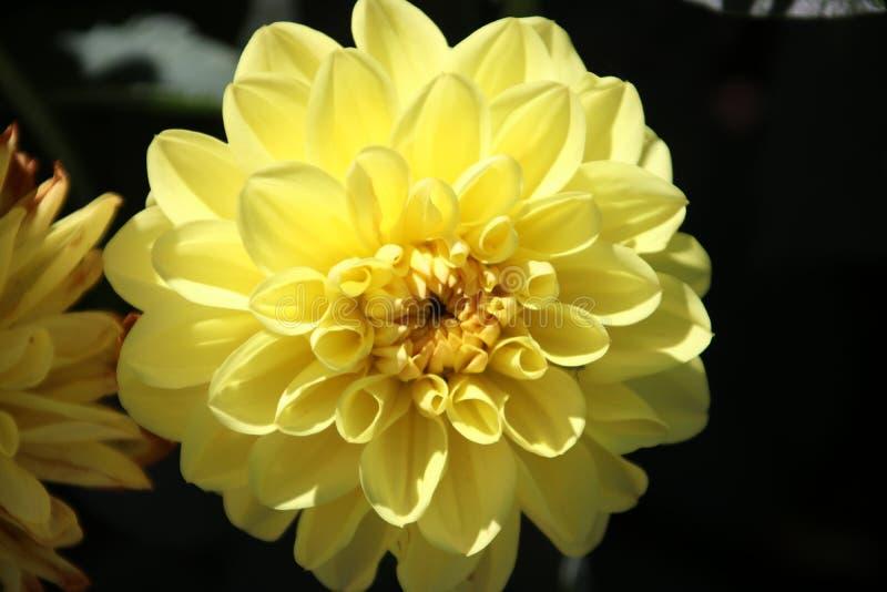 Yellow flower head of a Dahlia plant in a garden in Nieuwerkerk aan den IJssel. royalty free stock photography