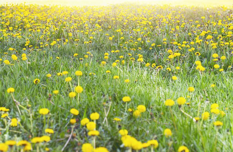 Yellow Flower Heads of Wild-Growing Dandelions or Taraxacum and Green Grass on a Sunny Day stock photo