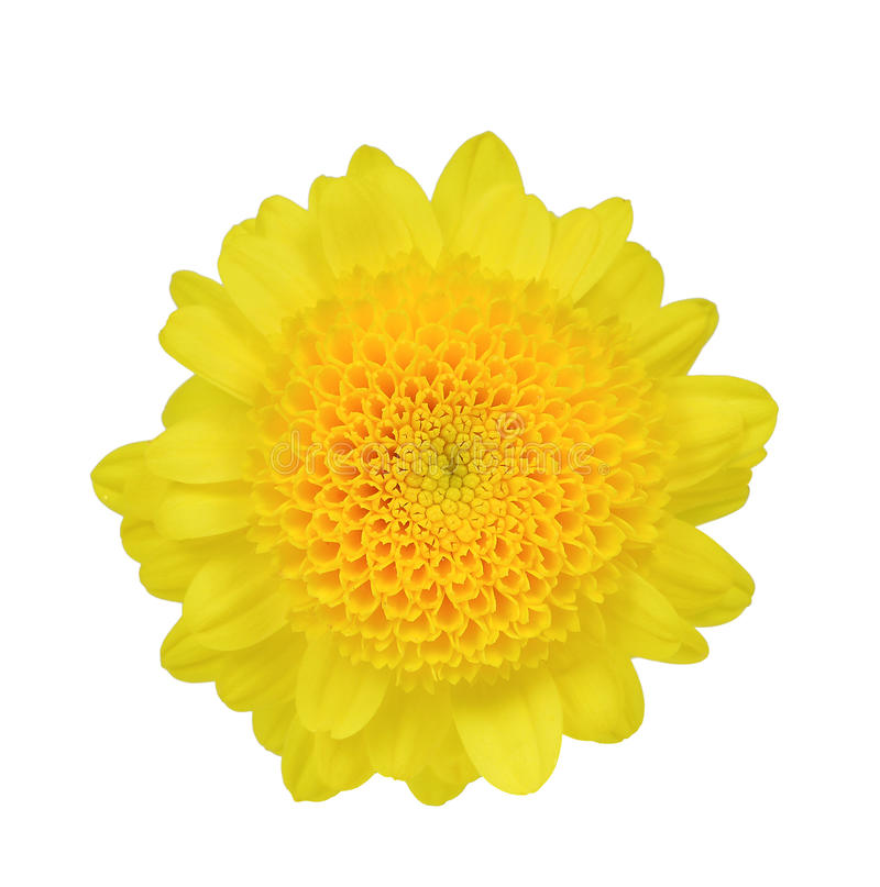 Yellow flower isolated on white. Background stock photography