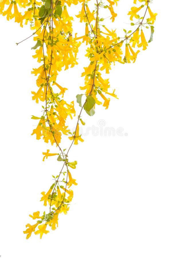 Yellow flower isolated on a white background. clipping path.  stock images