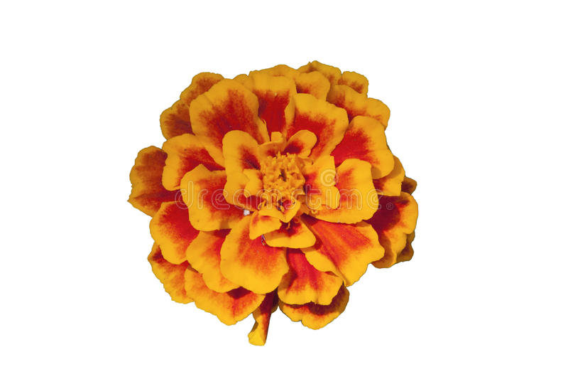 Yellow flower isolated on white background, clipping path. Yellow flower isolated on white background. Clipping path royalty free stock image