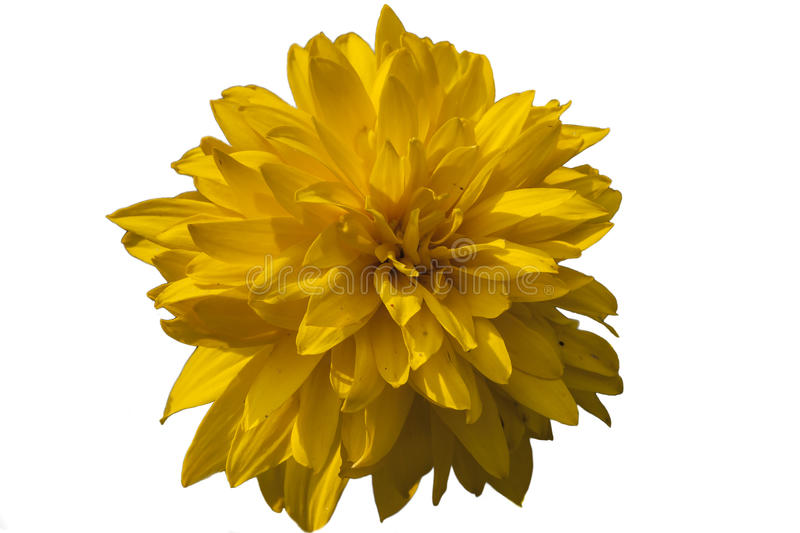 Yellow flower isolated on white background, clipping path. Yellow flower isolated on white background. Clipping path royalty free stock photo