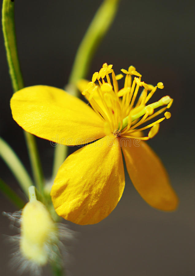 Free Yellow Flower Lone Macro. Stock Images - 86197534
