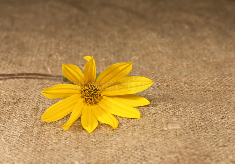 Download Yellow Flower Lying On The Tablecloth Stock Image - Image: 26752757
