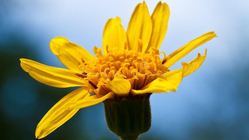 Yellow flower macro royalty free stock image