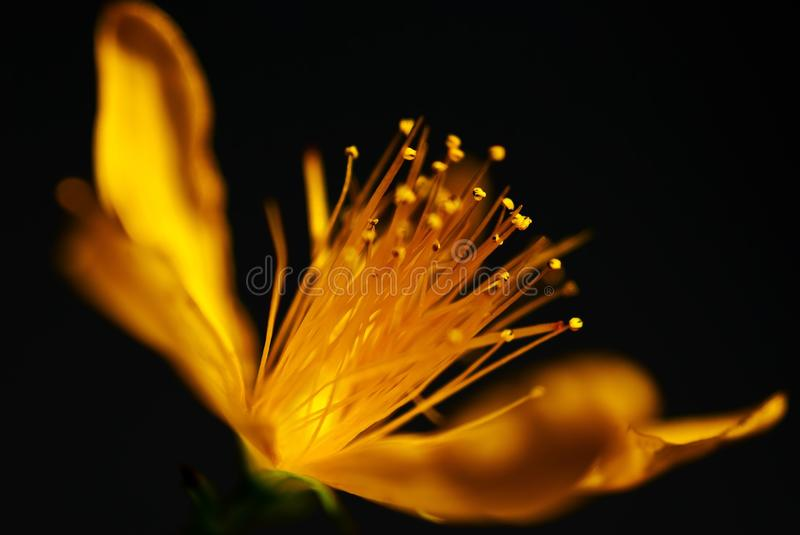 Yellow, Flower, Macro Photography, Close Up royalty free stock images