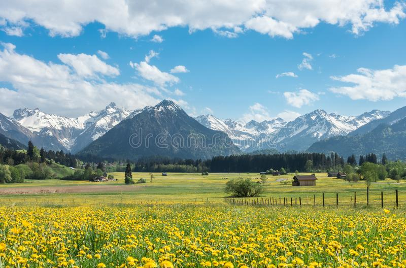 Yellow flower meadow with snow covered mountains and traditional wooden barns. Bavaria, Alps, Allgau, Germany. stock photography