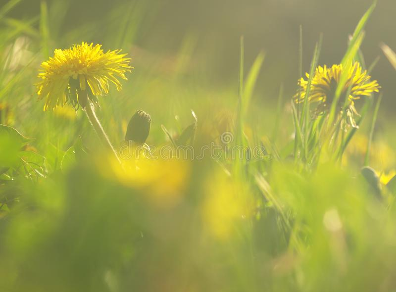 Yellow flower of medical plant in grass on meadow near forest with green leaves and stem at sunset. Blooming dandelion flower on g. Arden royalty free stock images