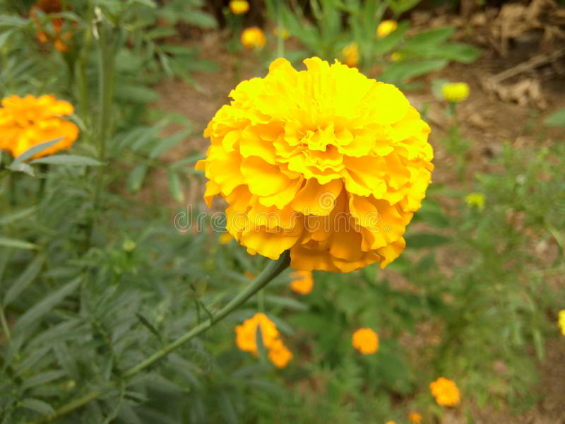 Yellow flower merigold royalty free stock photography