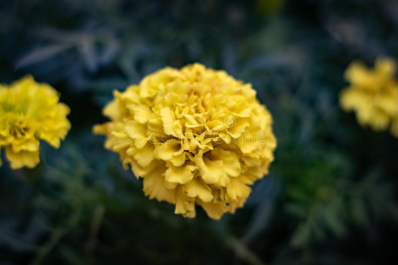 Yellow flower in a Moscow central store stock photos