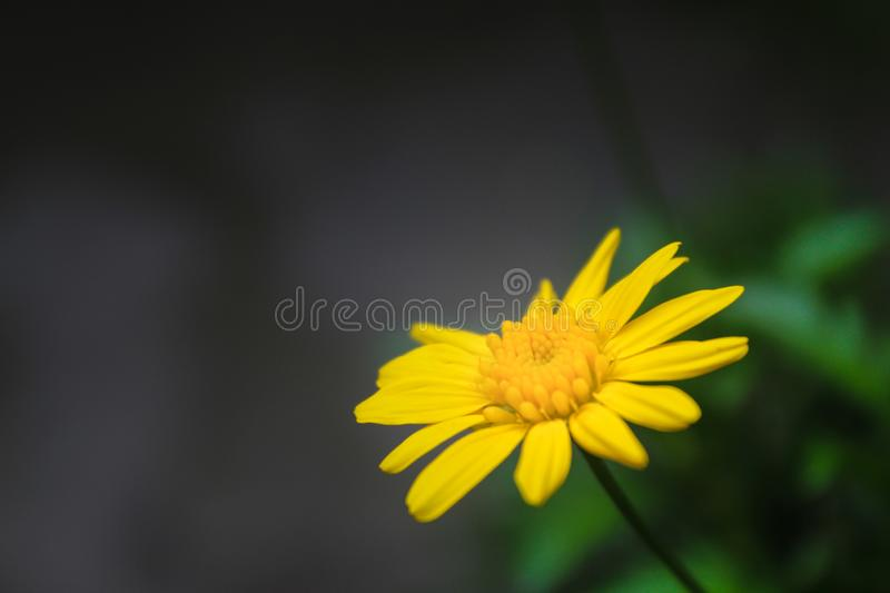 Yellow flower of my garden stock photos