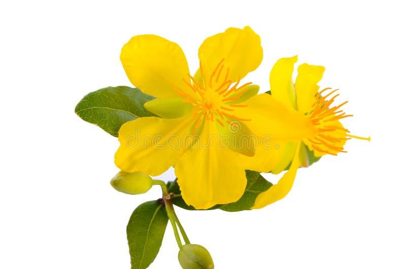 Yellow flower of Ocha kirkii Oliv plant. Micky mouse flower stock images