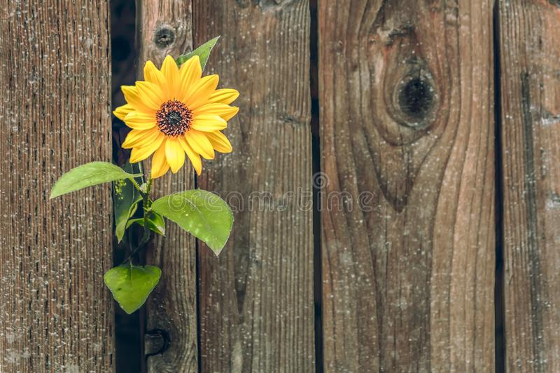 Yellow Flower Peeking Through the Fence. Bright yellow flower growing through the gap in a wooden fence royalty free stock image