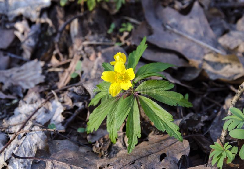 Yellow flower, perennial herb. Primroses in spring in deciduous forest stock image