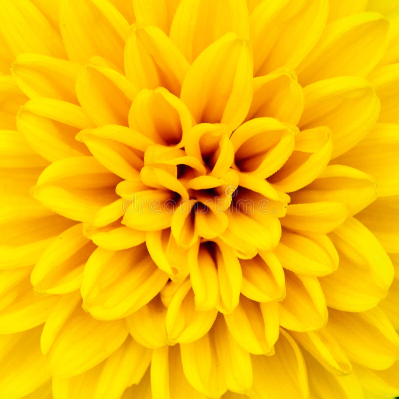 Yellow Flower Petals stock image
