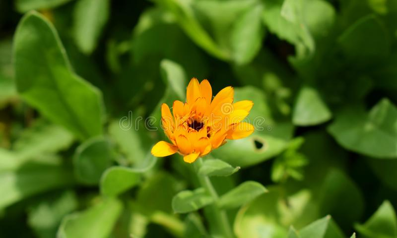 Yellow flower of Pot Marigold stock photos