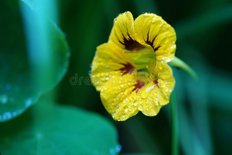 Yellow flower with raindrops. stock image