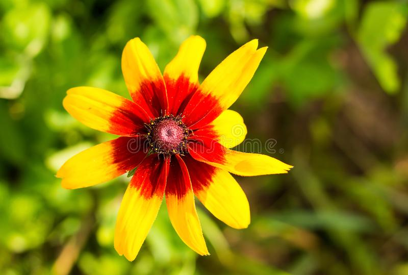 Yellow flower red center long petals plant rudbeckia stock image download yellow flower red center long petals plant rudbeckia stock image image of garden mightylinksfo