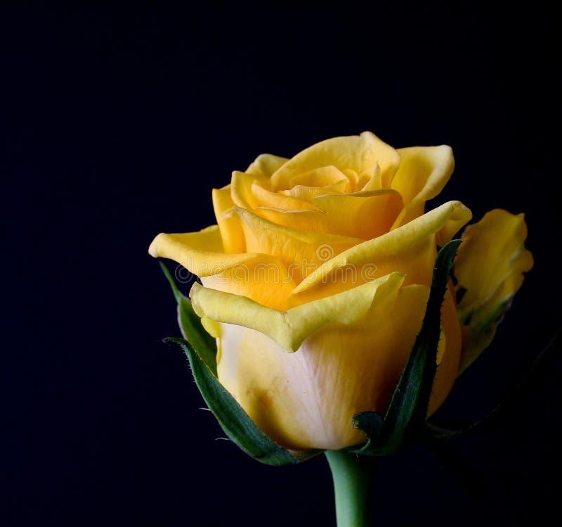 Yellow, Flower, Rose, Rose Family royalty free stock photos