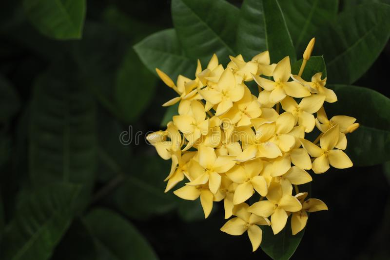 Yellow flower spike and bloom stock image