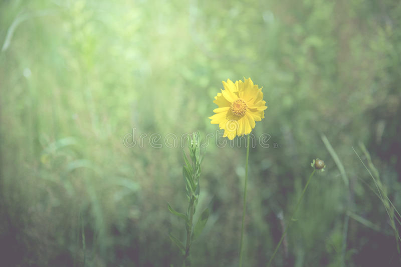 Yellow flower in the spring background in the middle of grass field, vintage tone.  royalty free stock image