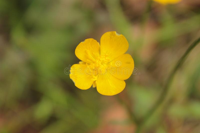 Yellow flower on the field stock photos