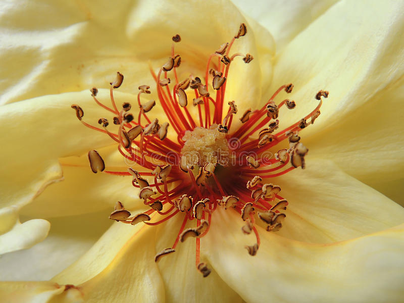 Yellow flower stamens. Close up stock photos