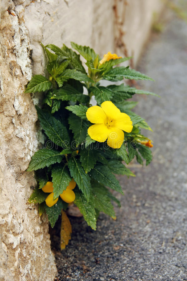 Yellow flower on stone royalty free stock photo