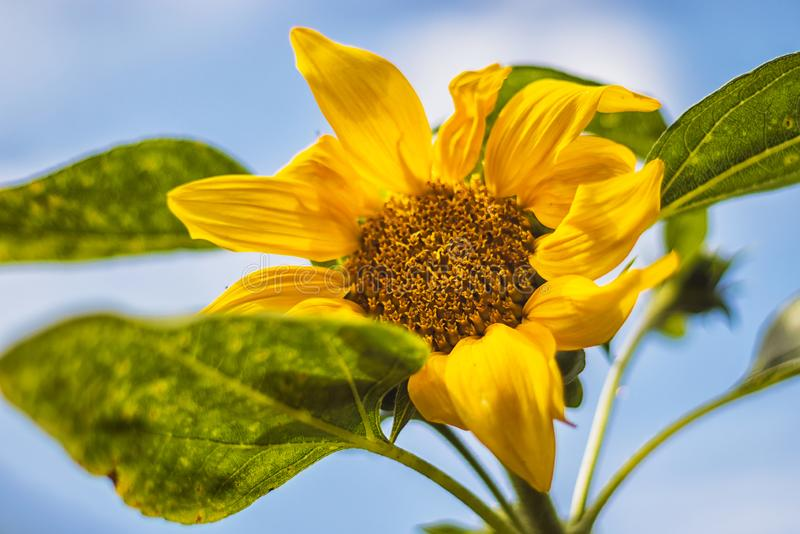 Flower of sunflower with, green leaves, blue sky royalty free stock photography