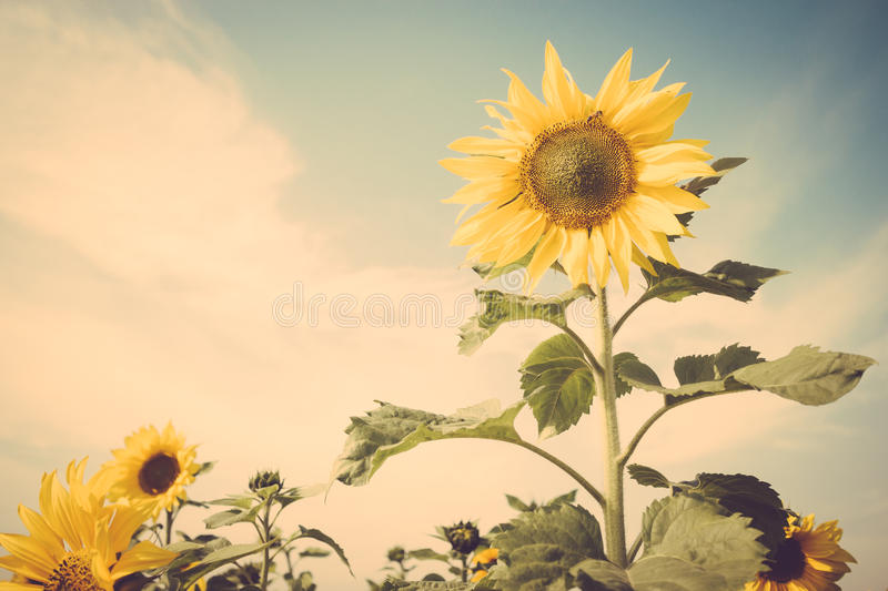 Yellow flower sunflower meadow field vintage retro. Instagram filter royalty free stock images