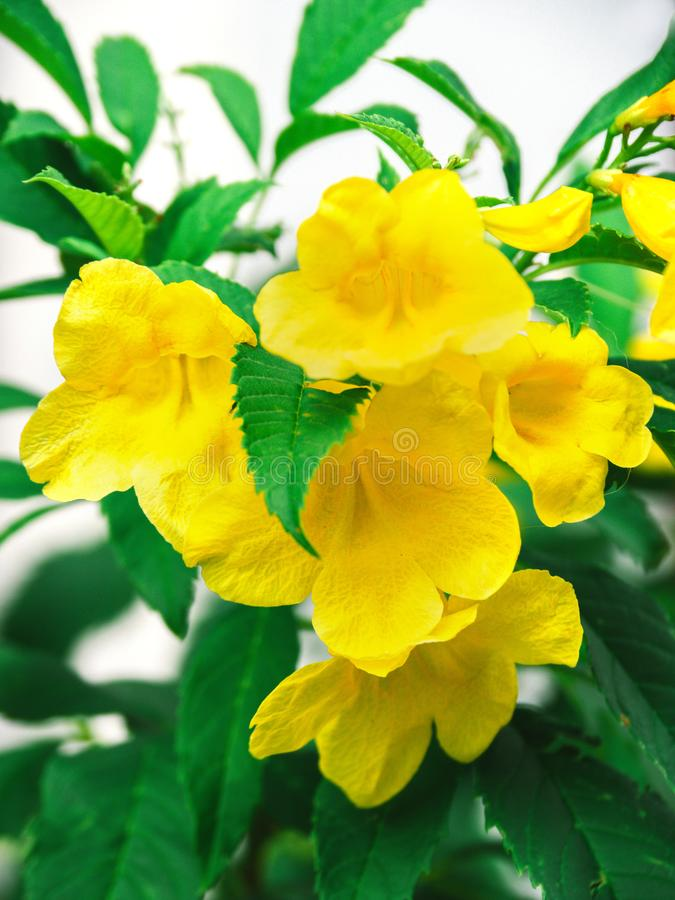 Yellow flower, Tecoma stans tree in garden, Blossoms of Yellow Trumpetbush, Common name is Yellow bell / Yellow elder / Trumpet. Vine stock photo