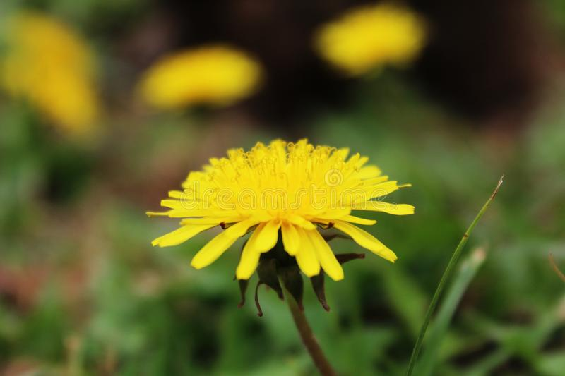 Yellow Flower at Tenerife, Canary Islands royalty free stock photo