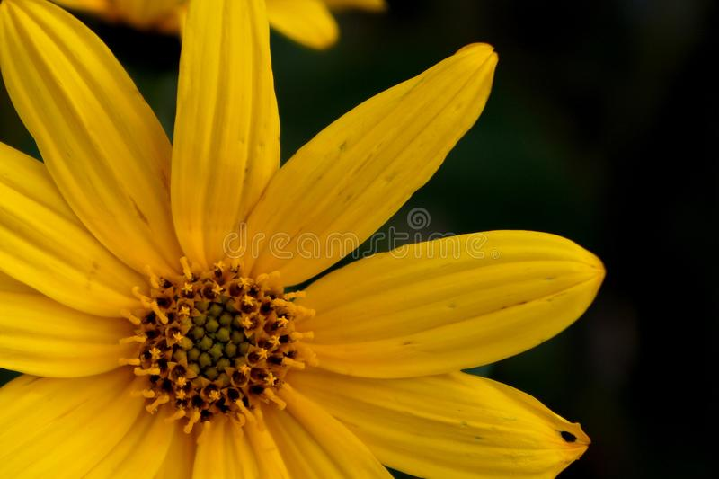 Yellow flower of topinambour. Close-up of yellow flower of topinambour stock photography