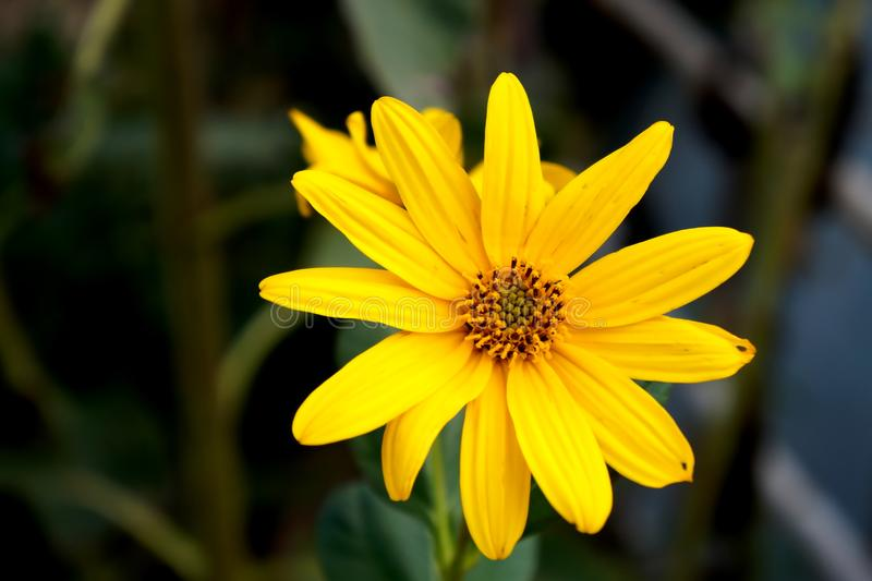 Yellow flower of Topinambour. Close-up of Yellow flower of Topinambour royalty free stock photo