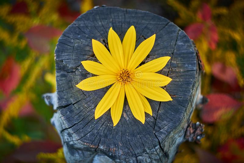 Yellow flower topinambur, artichoke lies on a stump. Helianthus tuberosus royalty free stock photo