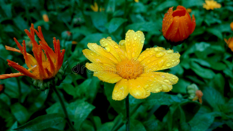 Yellow flower and two orange flowers with raindrops stock images
