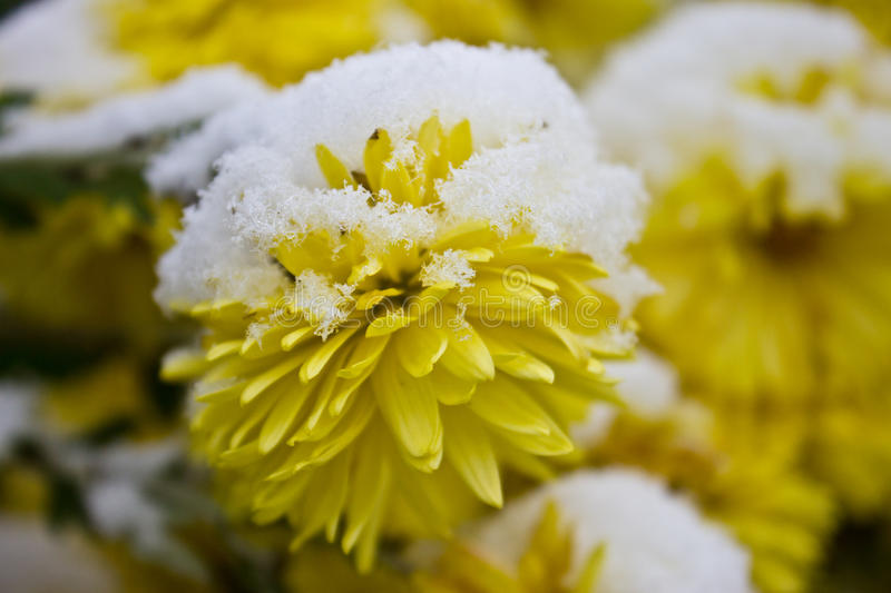 Yellow flower under the snow stock image