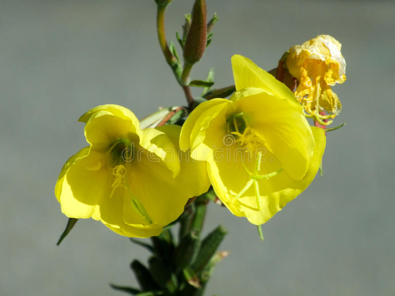 A yellow flower royalty free stock photography