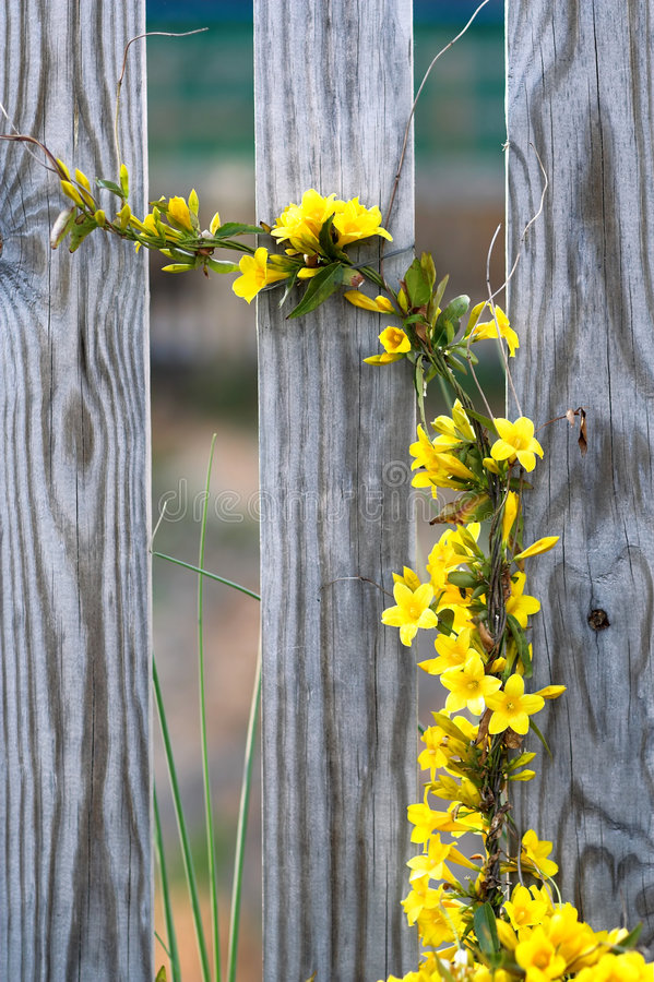 Yellow Flower Vine Royalty Free Stock Photography