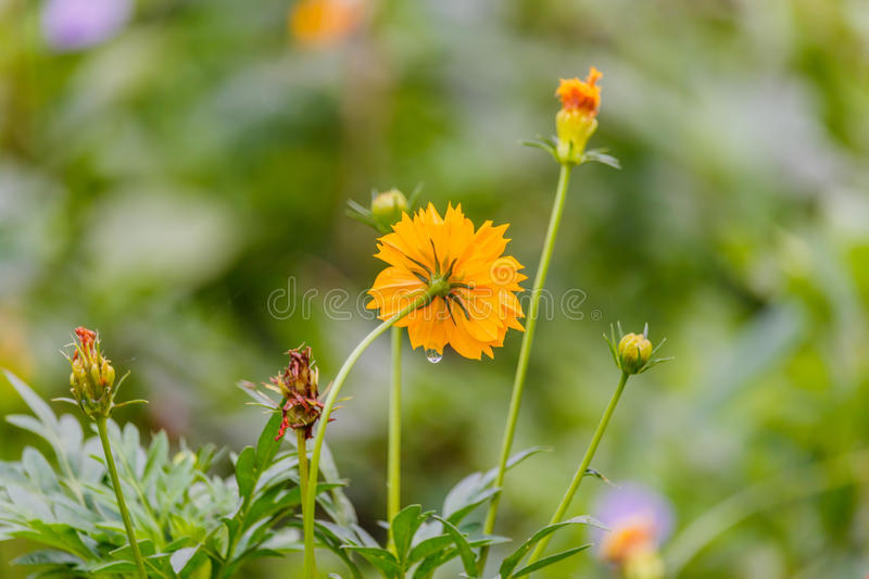Yellow flower with water drop. In garden stock photo