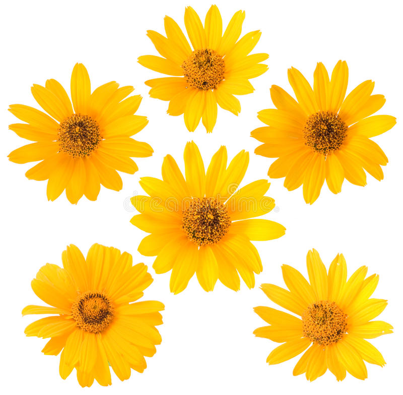 Yellow flower on white background stock image image of fresh download yellow flower on white background stock image image of fresh isolated 10112019 mightylinksfo Image collections