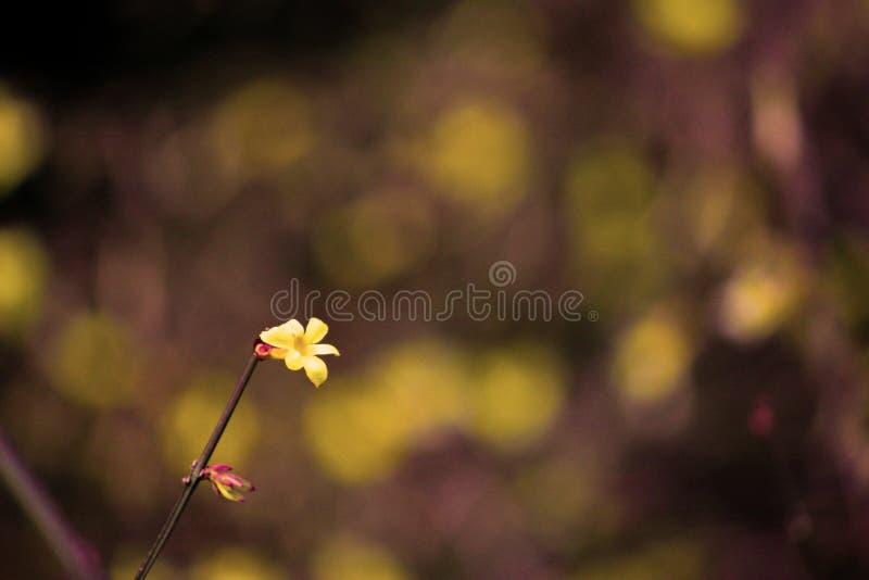 The yellow winter jasmine;Golden flower stock photos