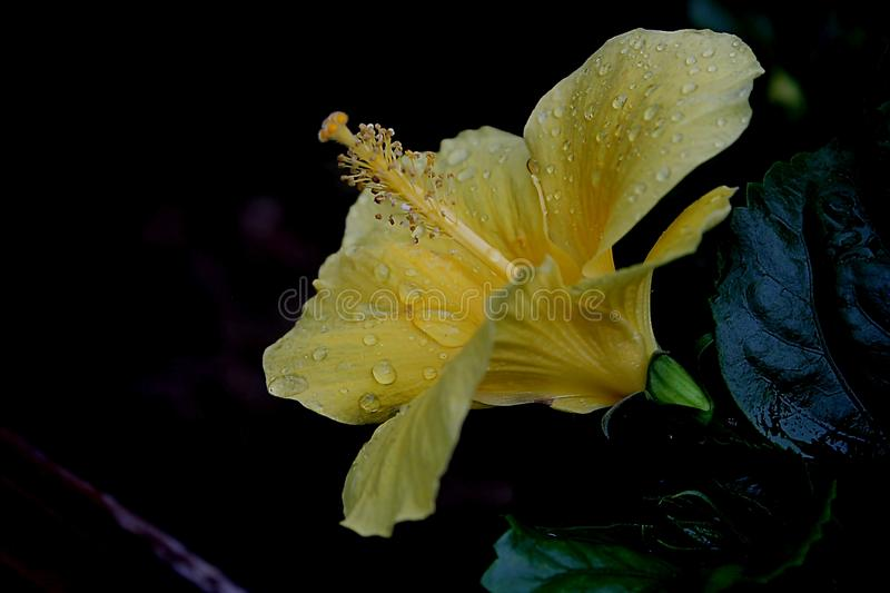 Yellow flowerhead in morning dew royalty free stock photo