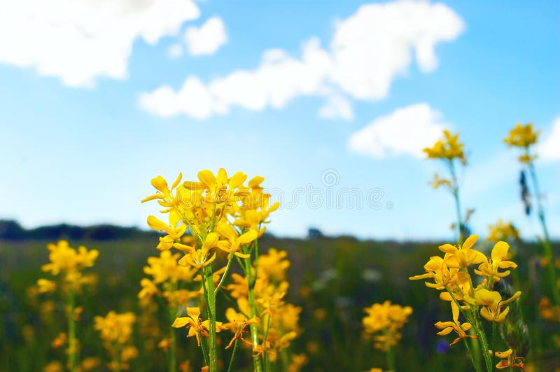 Yellow Flowering Celandines or Chelidonium Majus on a Colorful Meadow, Blue Sky, White Clouds on a Summer Day royalty free stock photography