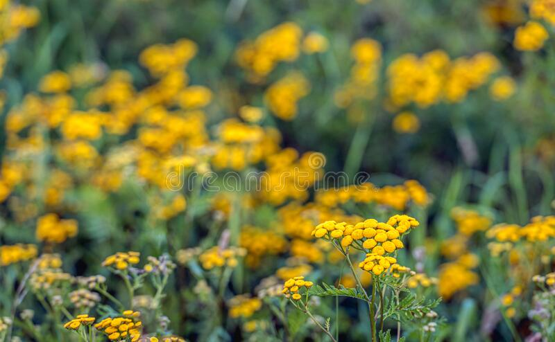 Yellow flowering common tansy from close royalty free stock photos
