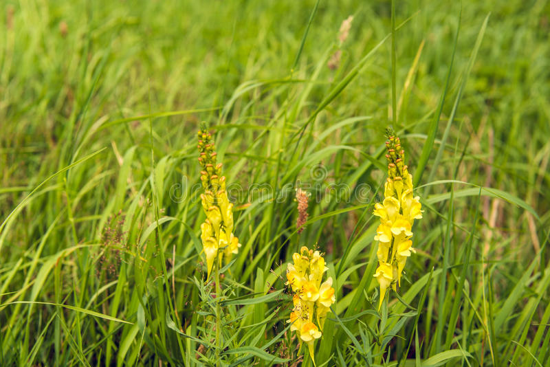 Yellow flowering common toadflax plant in the wild nature from c. Closeup of a yellow flowering, budding and overblown common toadflax of Linaria vulgaris plant royalty free stock images