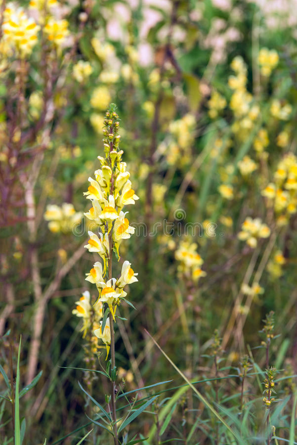 Yellow flowering common toadflax plant in the wild nature from c. Closeup of a yellow flowering, budding and overblown common toadflax of Linaria vulgaris plant royalty free stock photography