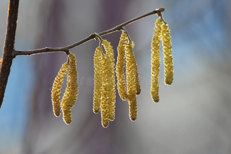 Yellow flowering earrings of an alder tree Alnus in early spring. Close up Yellow flowering earrings of an alder tree Alnus in early spring stock photo