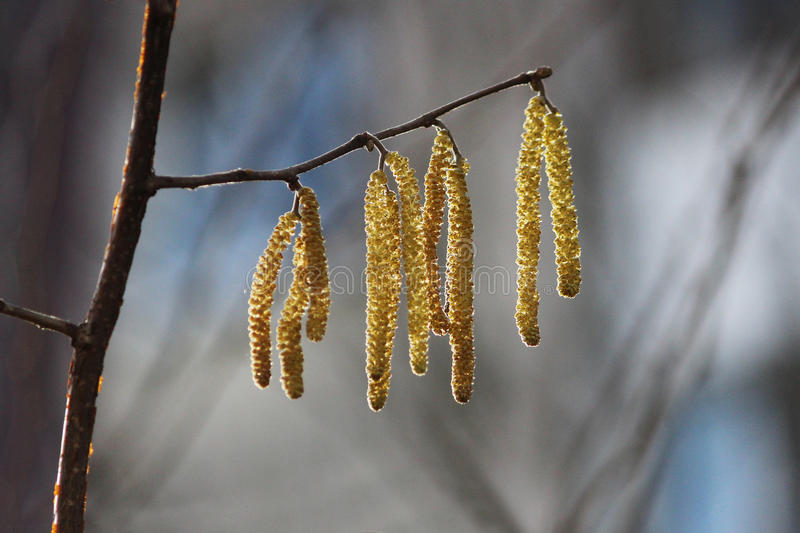Yellow flowering earrings of an alder tree Alnus in early spring. Close up Yellow flowering earrings of an alder tree Alnus in early spring royalty free stock image